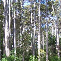 The Karri forests